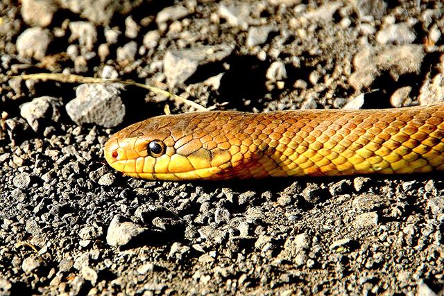 無料夢占い蛇が出てくる夢の意味金色黄色蛇メッセージ